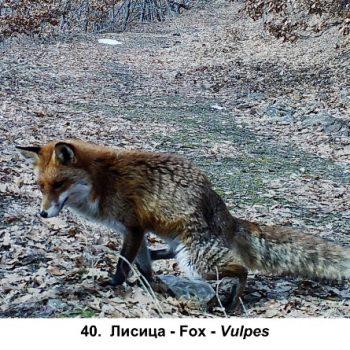 40-lisica-1