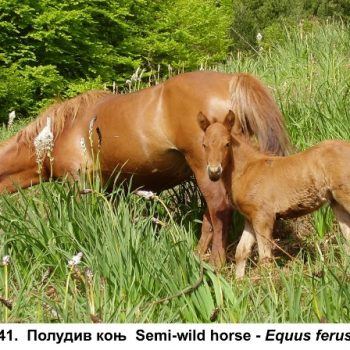 41-poludiv konj