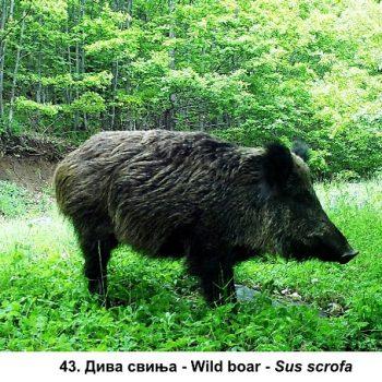 43-diva svinja