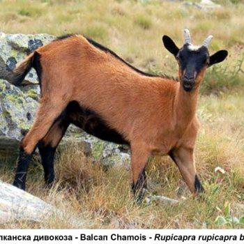 50 - balkanska divokoza